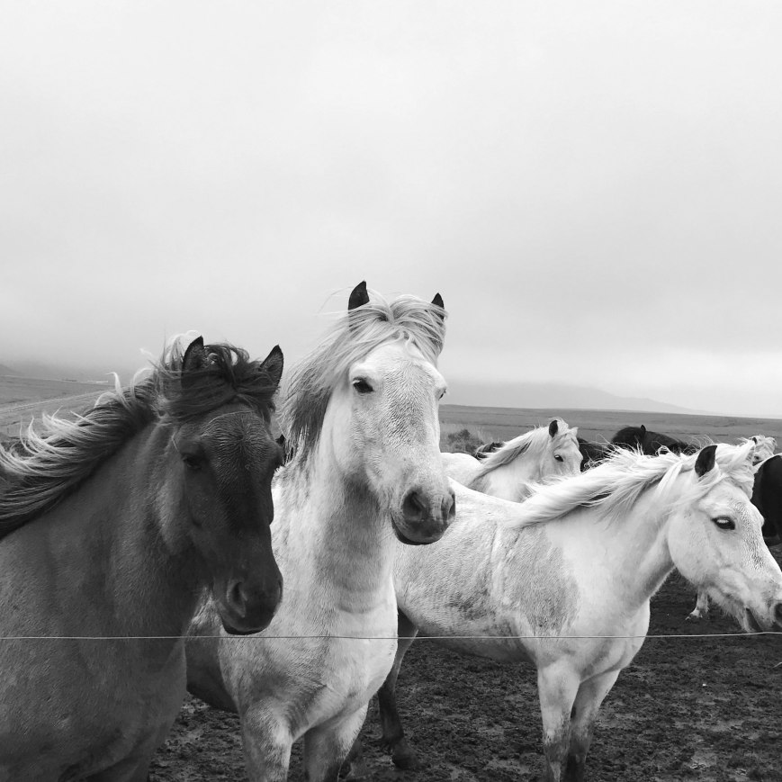 Iceland_Horses.jpg
